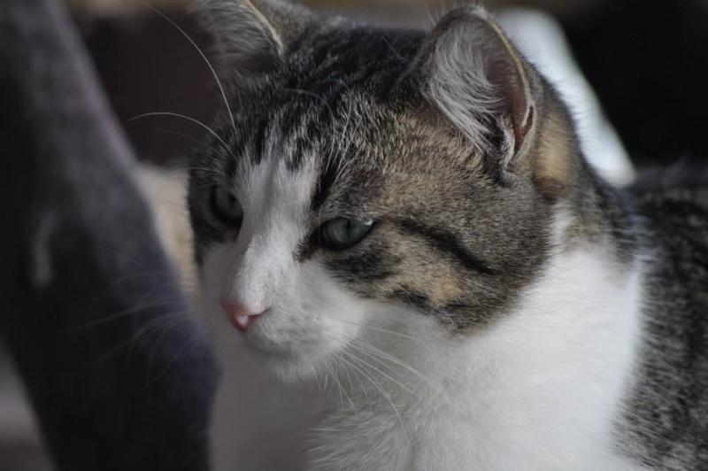 Patronus, tabby et blanc né en 2012 15460110