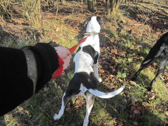 Gazou - croisé blanc, noir et marron - né le 01/01/2011 (Adopté dans le 59) Img_7510