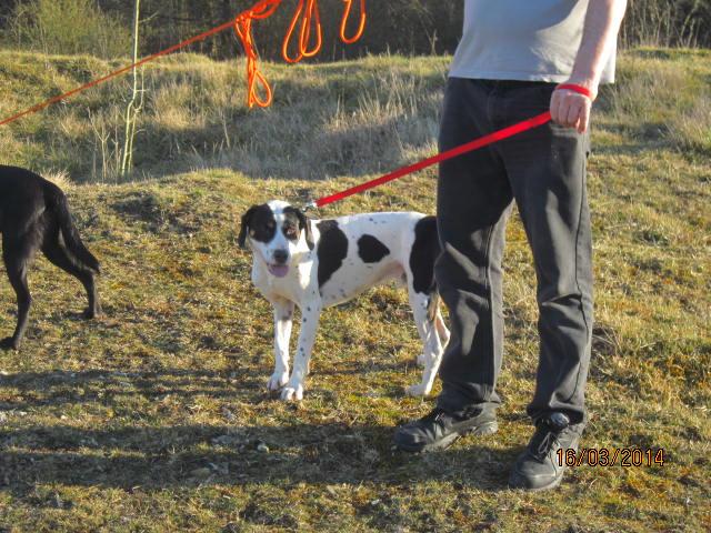 Gazou - croisé blanc, noir et marron - né le 01/01/2011 (Adopté dans le 59) Img_7512