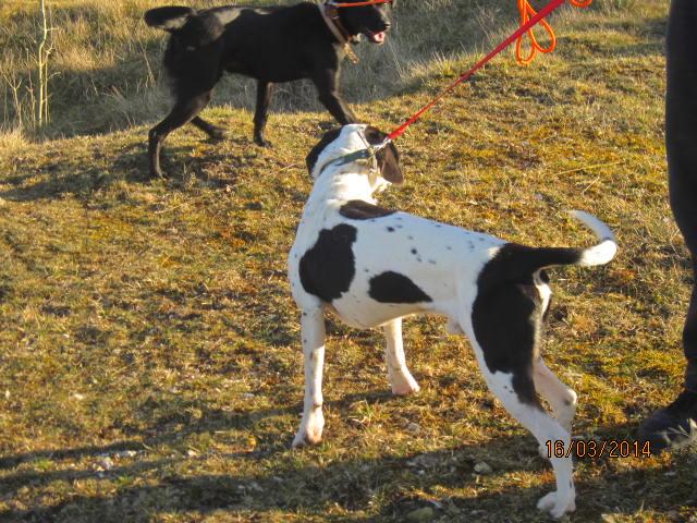Gazou - croisé blanc, noir et marron - né le 01/01/2011 (Adopté dans le 59) Img_7513