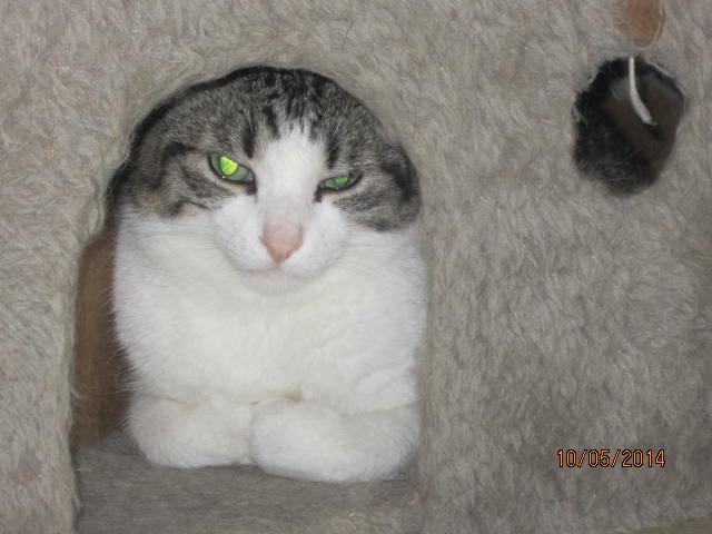 Patronus, tabby et blanc né en 2012 Img_8012