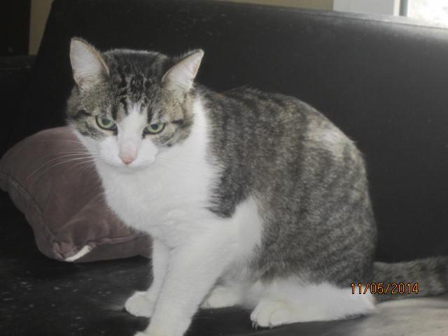 Patronus, tabby et blanc né en 2012 Img_8015