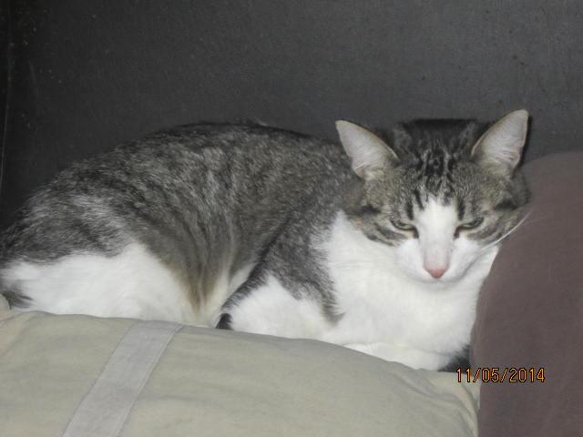 Patronus, tabby et blanc né en 2012 Img_8112
