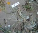 Tillandsia Crocata orange P1090114