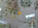 Tillandsia Crocata orange P1090115