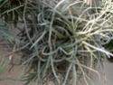 Tillandsia Caliginosa (probable) P1090116