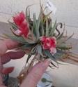 Tillandsia Meridionalis / Recurvifolia - Màj P1090412
