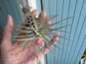 Tillandsa Stricta 'Albiflora' ? P1090713