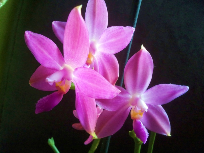 Phalaenopsis tetraspis x violacea (Jennifer Palermo) oder Phal. speciosa x violacea (Germaine Vincent) - Seite 2 Foto0623