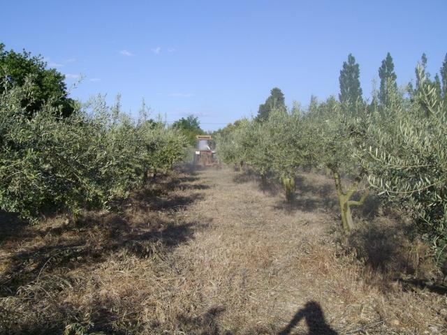 Mes oliviers et mon jardin Imgp1018