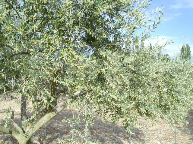 Mes oliviers et mon jardin Imgp1019