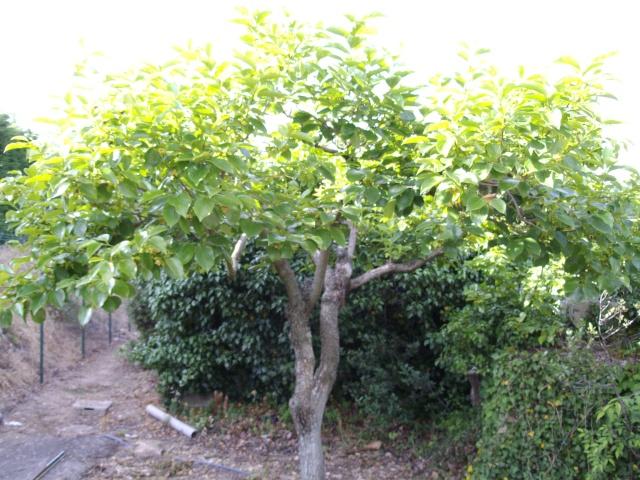 Mes oliviers et mon jardin Imgp1021