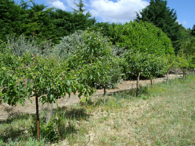 Mes oliviers et mon jardin Imgp1024