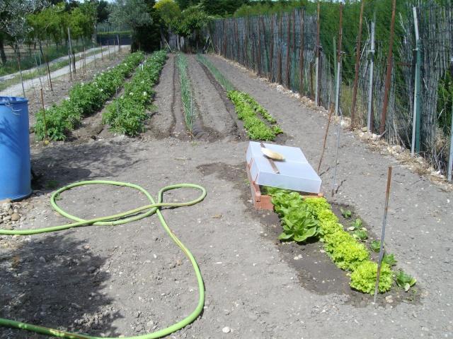 Mes oliviers et mon jardin Imgp1028