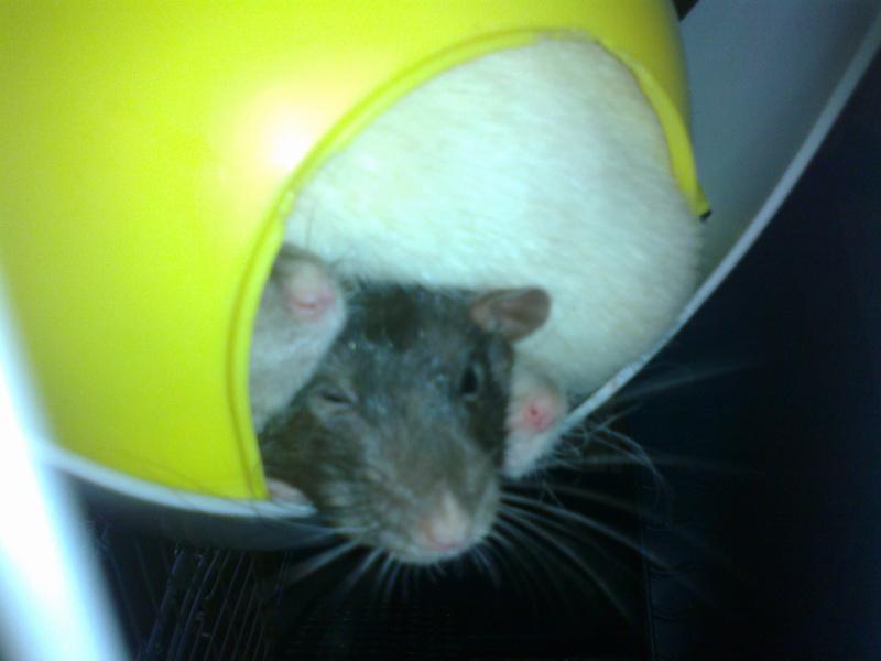 Mes rats d'hier et d'aujourd'hui...  07112010