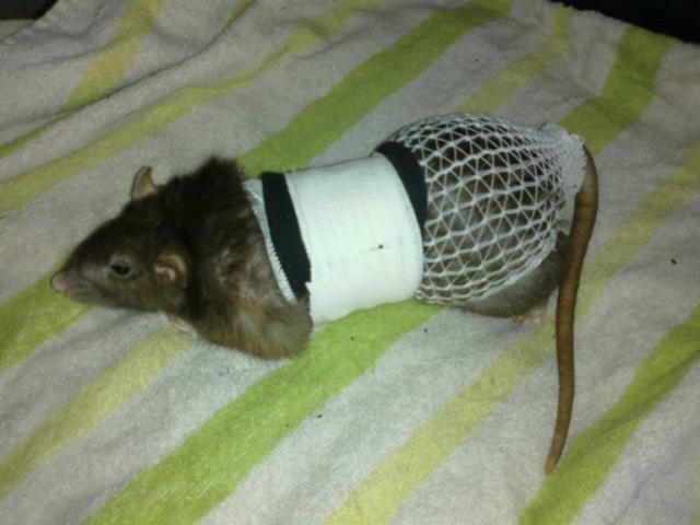 Le rat saucisson - Protéger une plaie après opération - Page 9 08042010