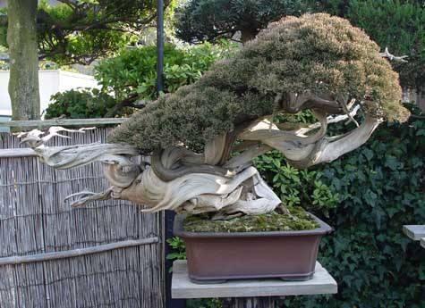 Quale delle due arti di fare bonsai condividete ed apprezzate di piu' ? Dragon10