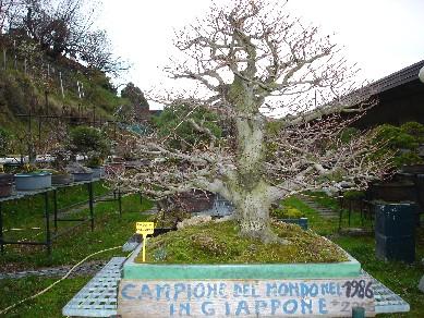 Quale delle due arti di fare bonsai condividete ed apprezzate di piu' ? Faggio10