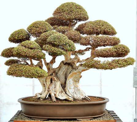 Quale delle due arti di fare bonsai condividete ed apprezzate di piu' ? Palchi10