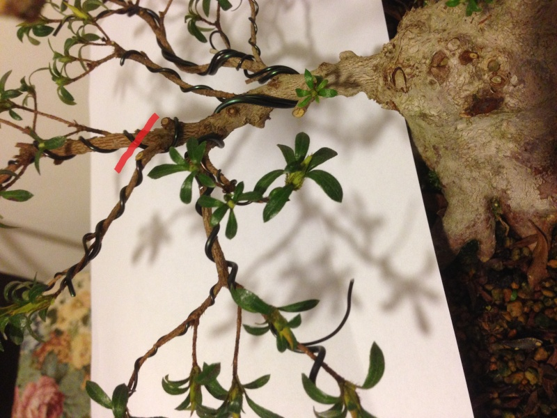 Azalea (var. Sachi no hana) - Pagina 3 Taglio11