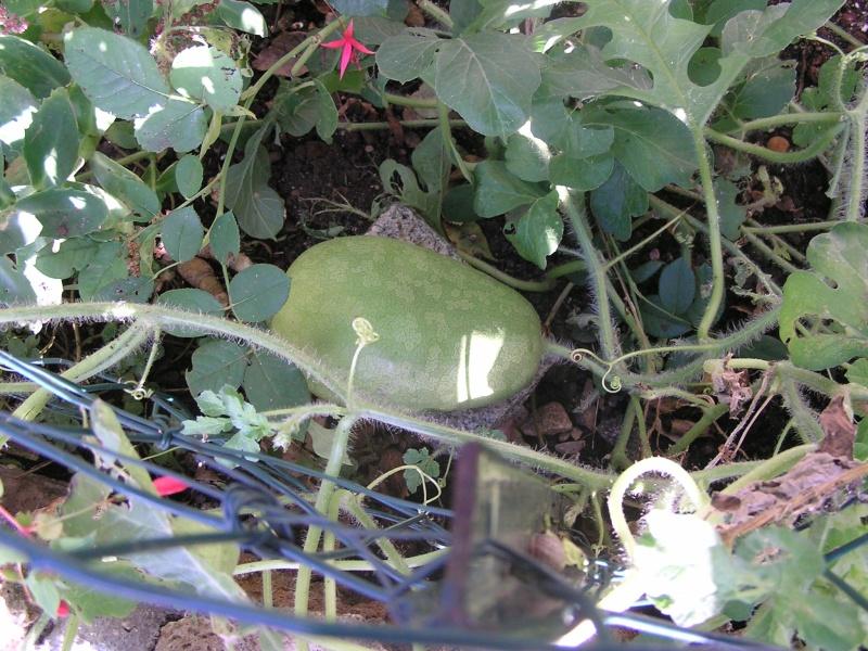 Pour Gisèle : mes pastèques à confiture ou cistre Cistre11