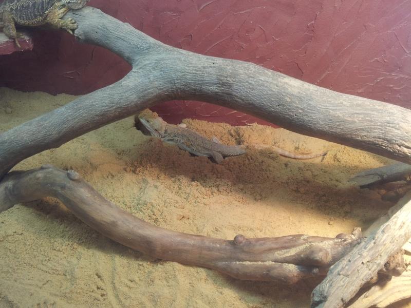 Pogona femme qui gratte dans le sable 20131010