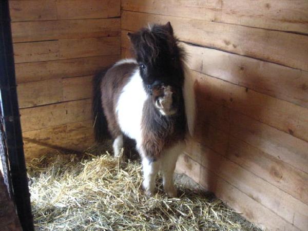 À vendre mini cheval(Vendu) Fire10