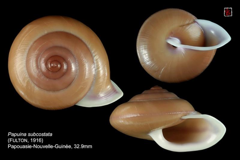 Papuina subcostata (Fulton, 1916) 10233310