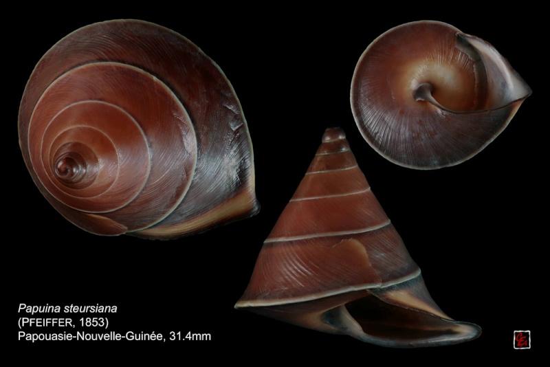Papuina steursiana (Pfeiffer, 1853) 10239510