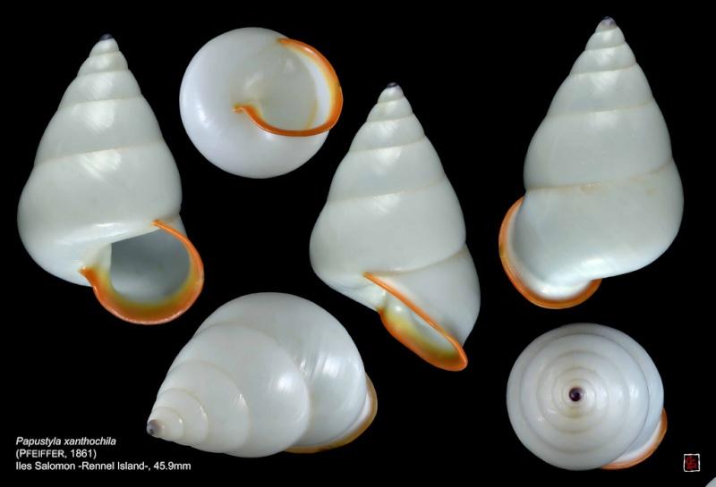 Papustyla xanthochila (Pfeiffer, 1861) 10384510