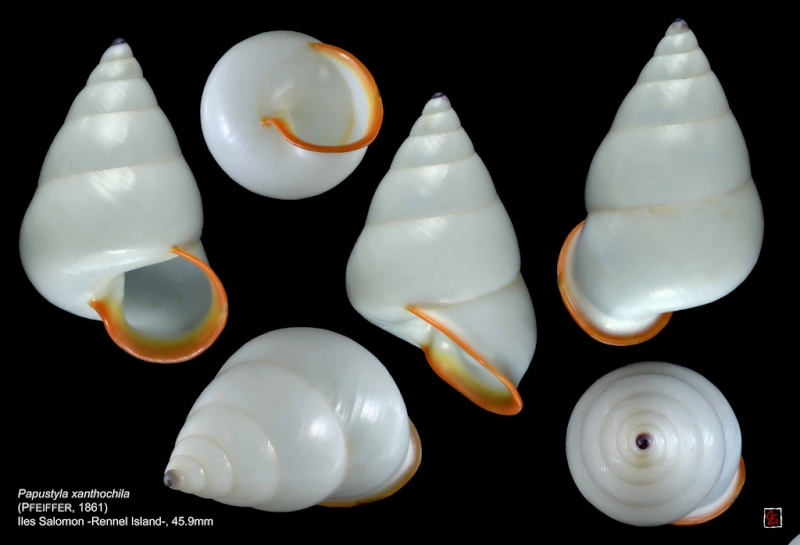 Papuina xanthochila (Pfeiffer, 1861) 10384510