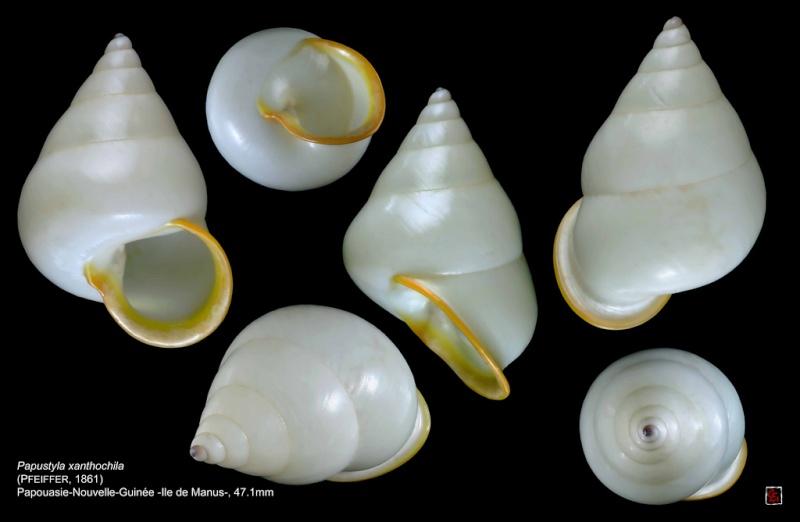Papuina xanthochila (Pfeiffer, 1861) 10387410