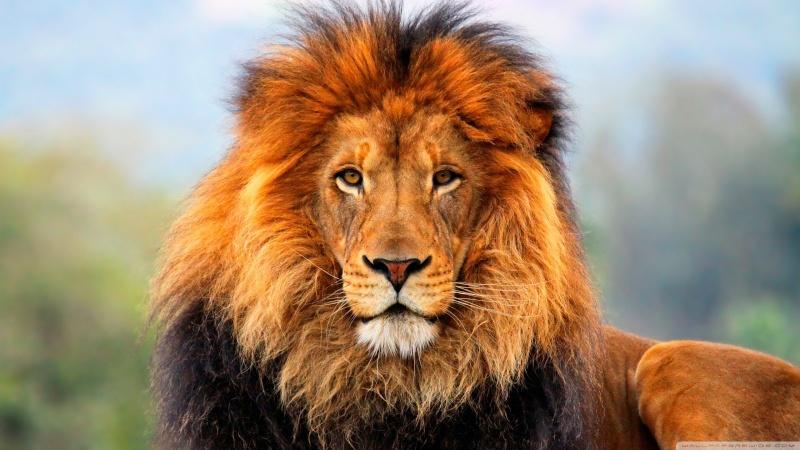 Les papillotes Lion-010