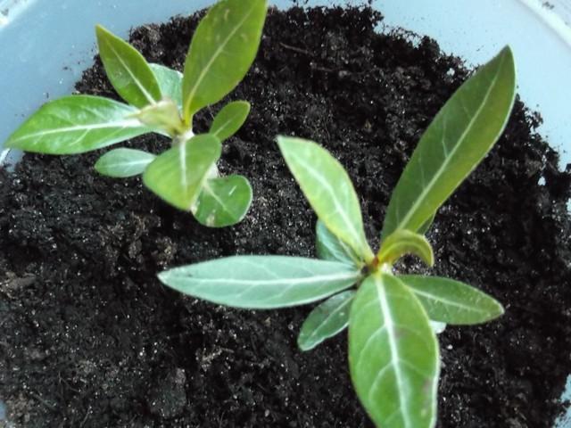 Plantes à caudex Dscf3120