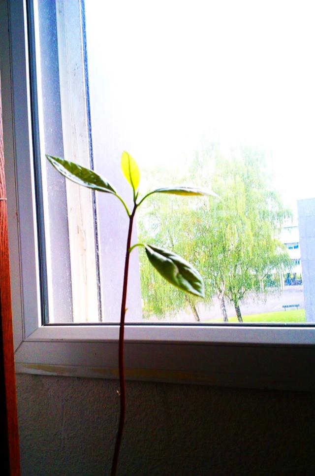 mon Avocatier-Persea americana - Page 3 Imag0825