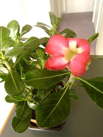 Plantes à caudex P1020110