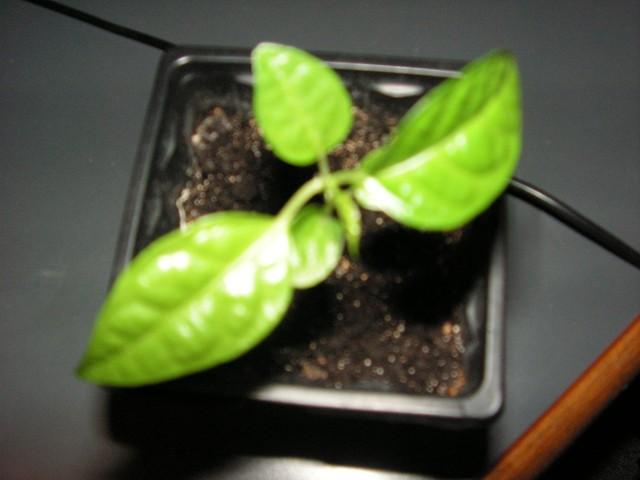 Tiliaceae [Sparmania] Pict0620