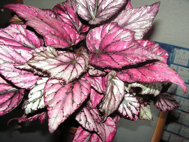Les plantes d'intérieur de Madame - Page 5 Pict0679