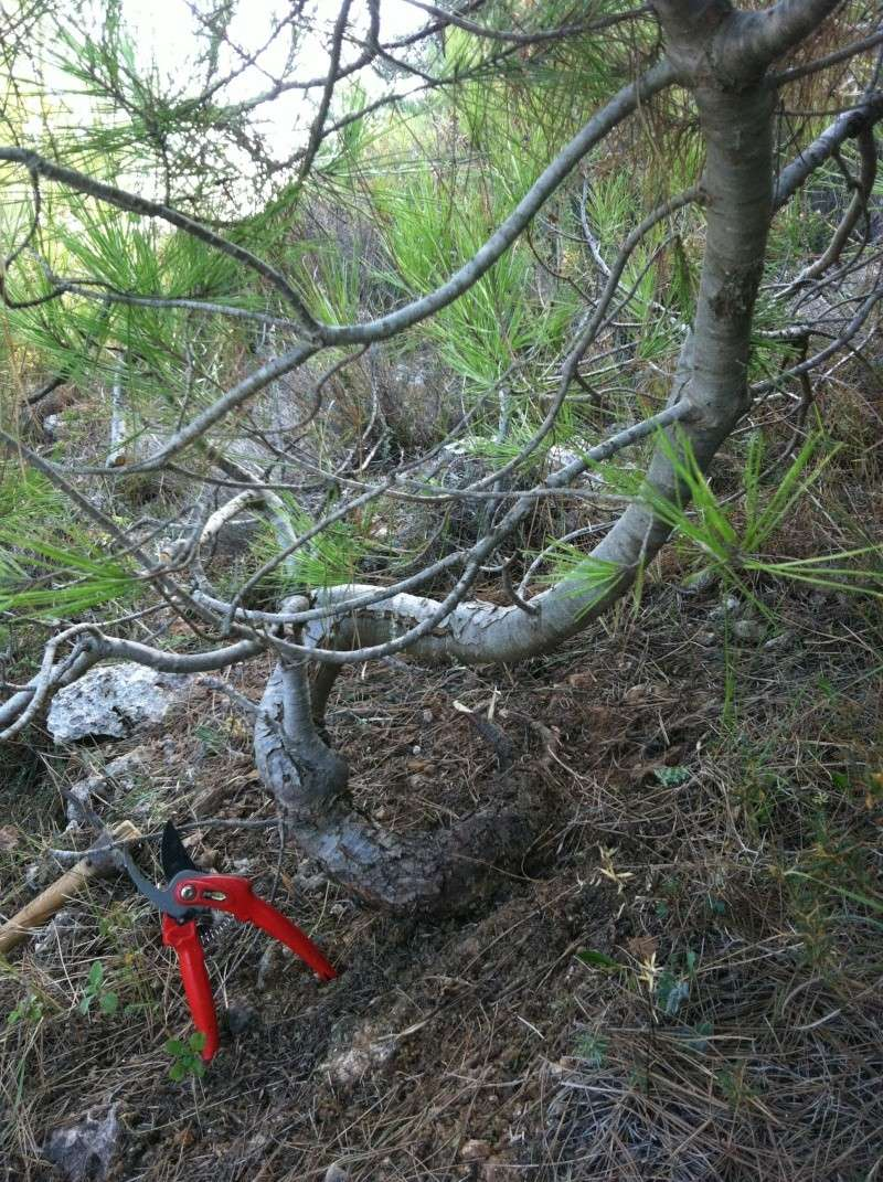 Wild Tree       Pine_i11
