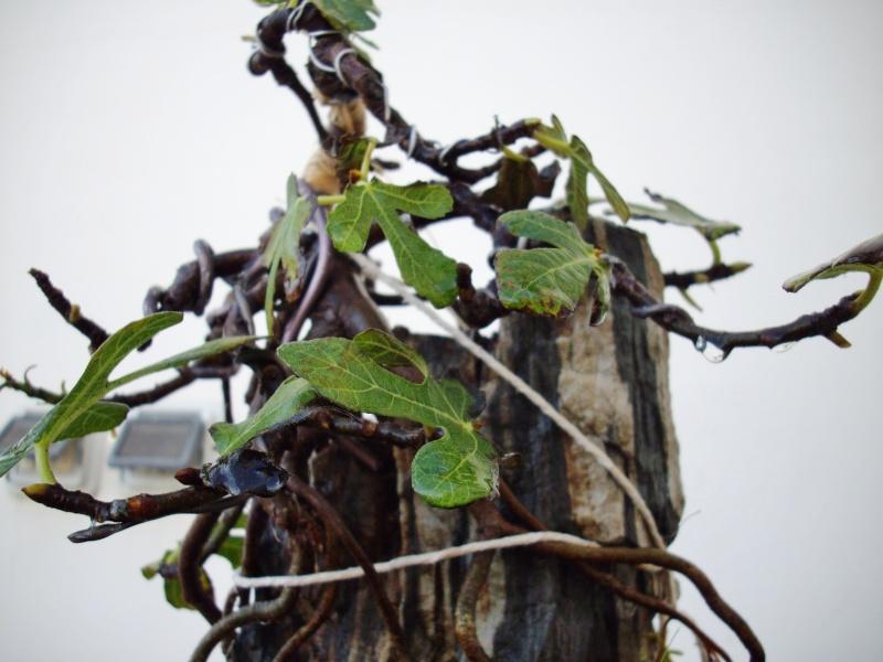 Ficus carica su roccia Imgp1111