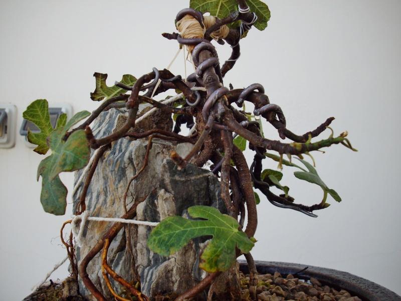 Ficus carica su roccia Imgp1112
