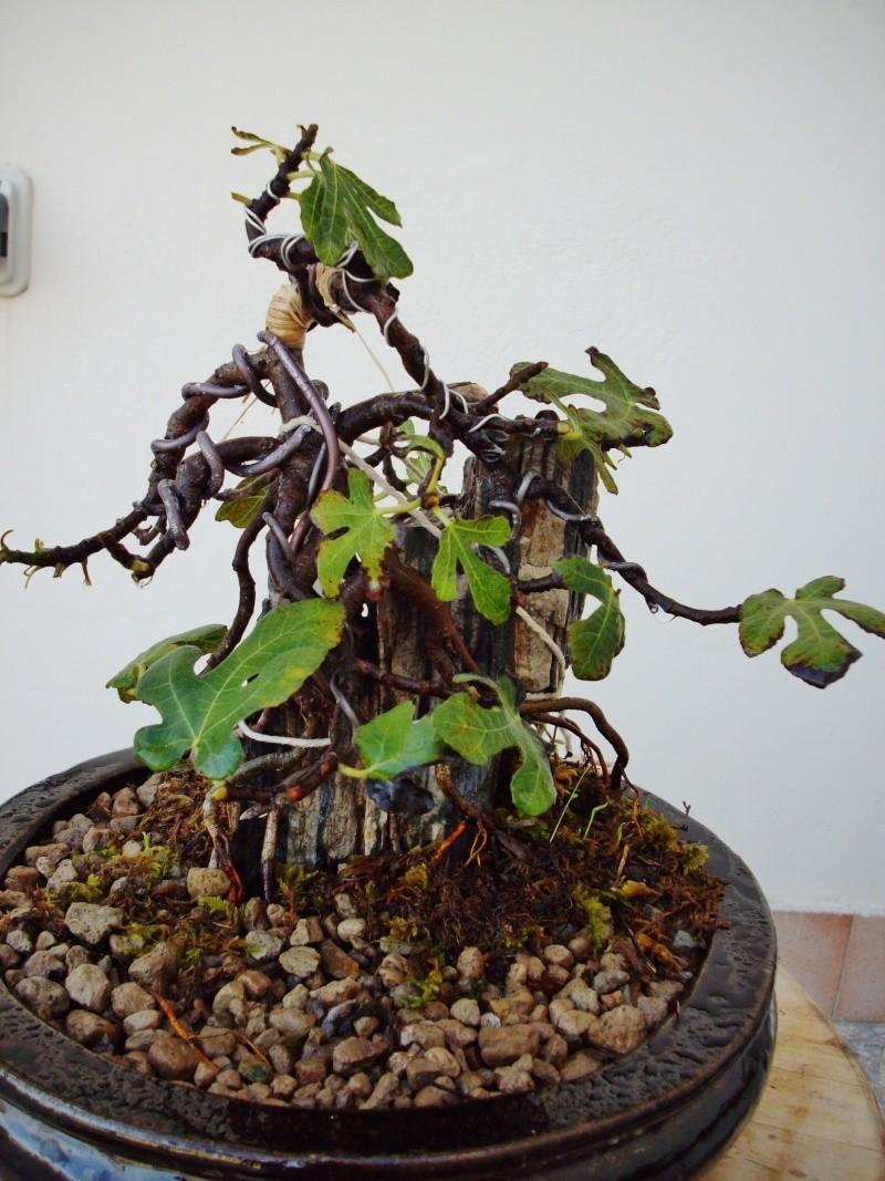 Ficus carica su roccia Imgp1113