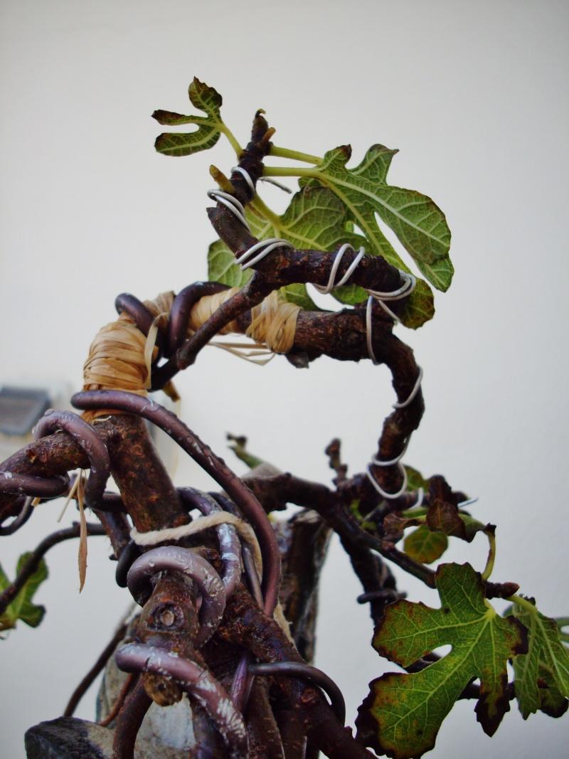 Ficus carica su roccia Imgp1116