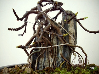 Ficus carica su roccia Imgp1323