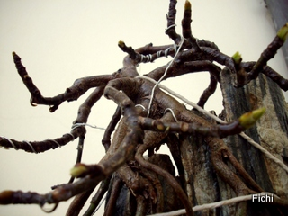 Ficus carica su roccia Imgp1324