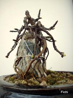 Ficus carica su roccia Imgp1325