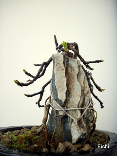 Ficus carica su roccia Imgp1326