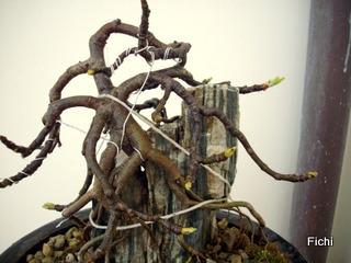 Ficus carica su roccia Imgp1328