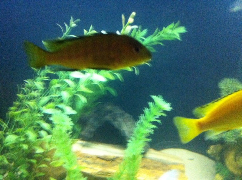 (BIG SALE) North America and south America and Malawi cichlid Img_1210