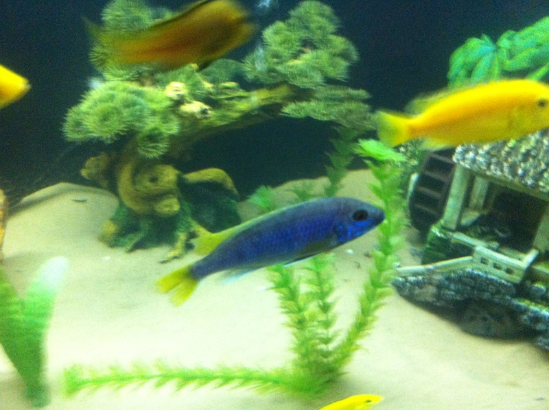 (BIG SALE) North America and south America and Malawi cichlid Img_1211